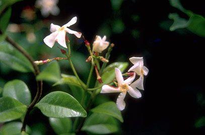 RHS Plant Selector Trachelospermum asiaticum AGM / RHS Gardening