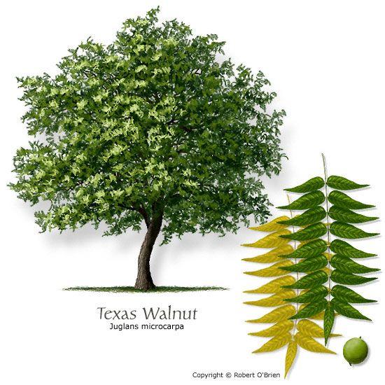 Small Ornamental Trees Nc: Texas Walnut (Littleleaf Walnut, Nogalito)