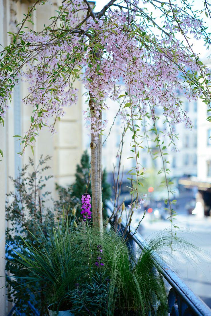 Mon balcon à Paris : prunus retombant, eucalyptus, magnolia dans des grands pots @BACSAC®  | Vanessa Pouzet