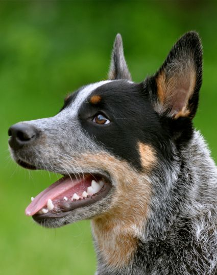 Australian Cattle Dog...great dog who 'needs a job,' to be a happy dog, for sure.