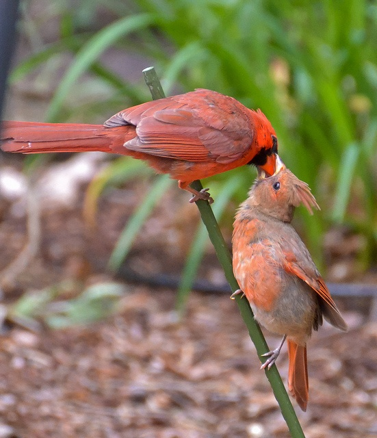 Mr. and baby Cardinal in low bushes nextdoor :-) (Previous Pinner. love it!)