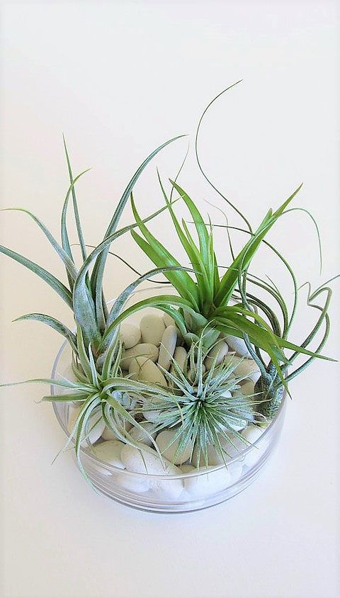 5 beginnners airplants trendy tillandsia indoor outdoor