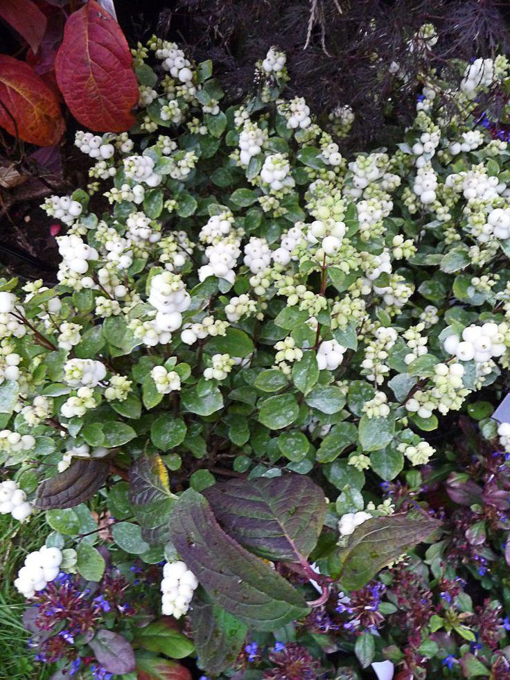 Symphoricarpos x doorenbosii Magical Galaxy 'Kolmgala', Journées des Plantes de Courson (Essonne), automne