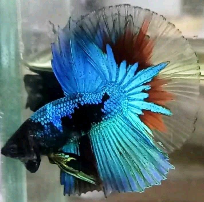 Over Halfmoon Black Avatar Red Wash Ikan Cupang Ikan