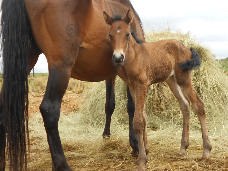 South African Boerperd foal. Mare and horse