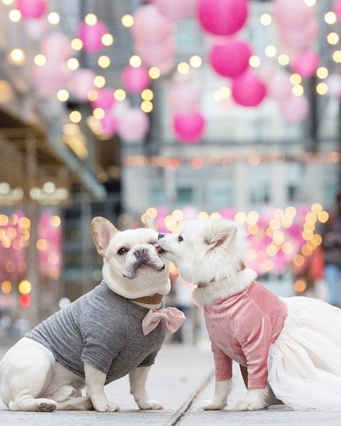 The happy couple plans to tie the knot (leash?) either this fall or next spring. | These Dogs Had An Engagement Photo Shoot, And It's Ridiculously Cute