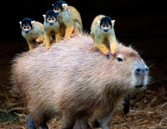 World's Biggest Rodent