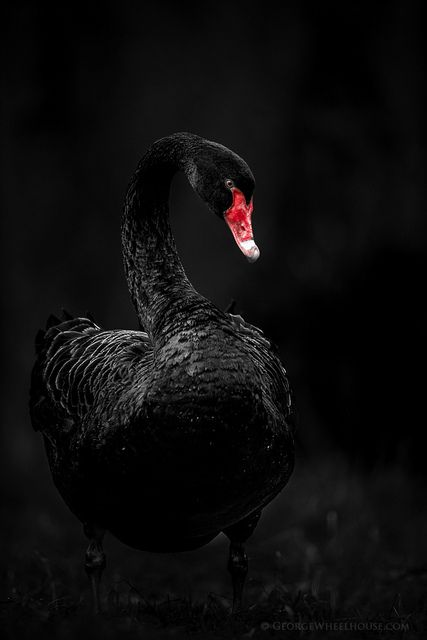 Black Swan | Flickr - Photo Sharing!
