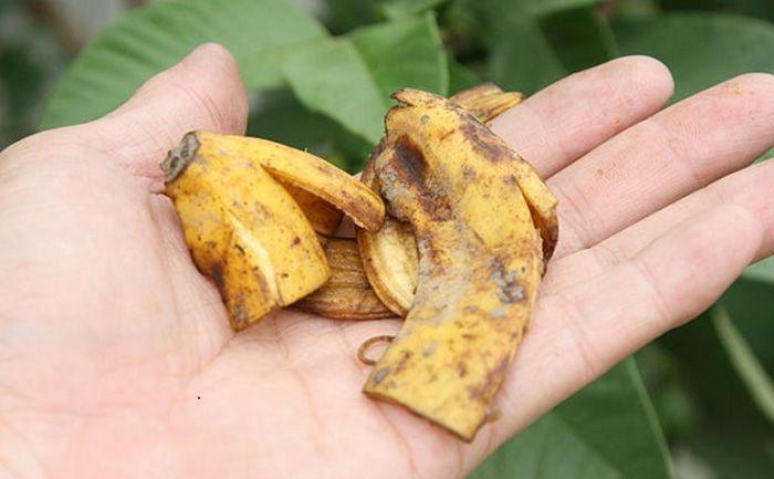 на банановую кожуру слетятся все бабочки в вашем саду,в том числе и дрозофилы