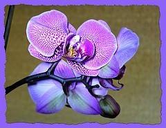ber ideen zu lila orchideen auf pinterest orchideen blaue orchideen und dendrobium. Black Bedroom Furniture Sets. Home Design Ideas