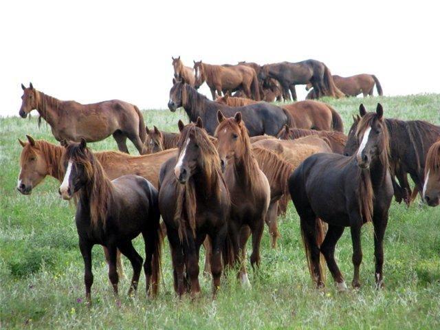 Manych-Gudilo Lake horse (Rostov Reservation, Russia)Ростовский заповедник: дикие мустанги - О лошадях | КОНОВОД