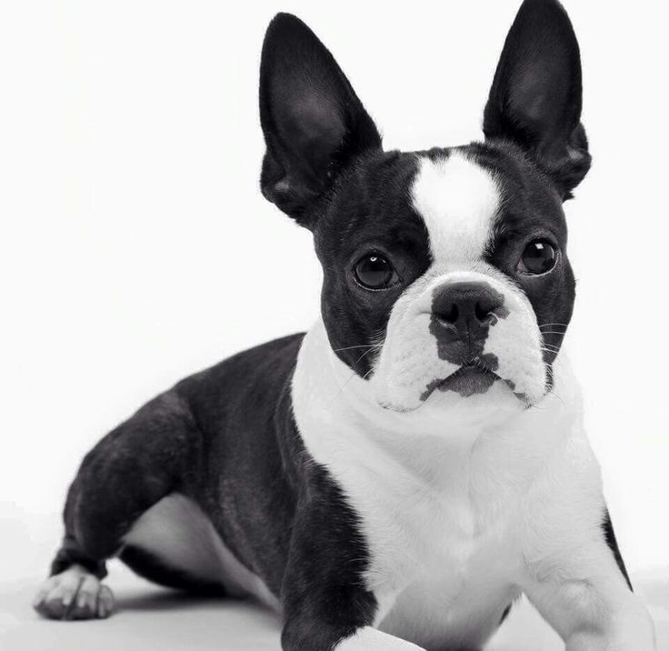 What a very pretty Boston Terrier!
