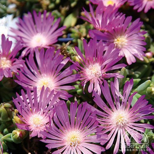 Pink Iceplant - Delosperma cooperi Table Mountain®