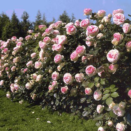 giardini con rose rampicanti - Cerca con Google