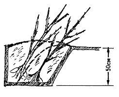 Как прикопать саженцы на зиму