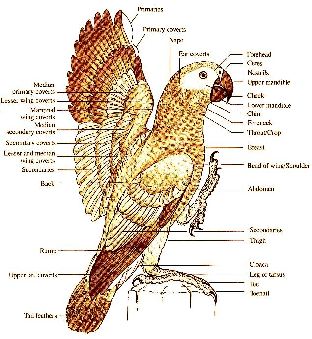 9 Best Parrot Anatomy Images On Pinterest Parrots Budgies And Anatomy