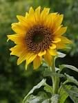 All living things have DNA. This correlates because even though it mite not look like this sunflower has DNA it does and that's what makes all the sunflowers look the same.