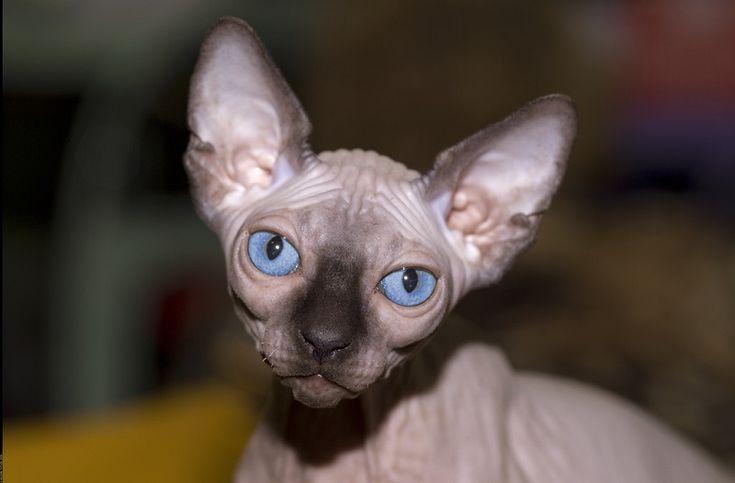 Лысая кошка с голубыми глазами. Порода канадский сфинкс. Фото