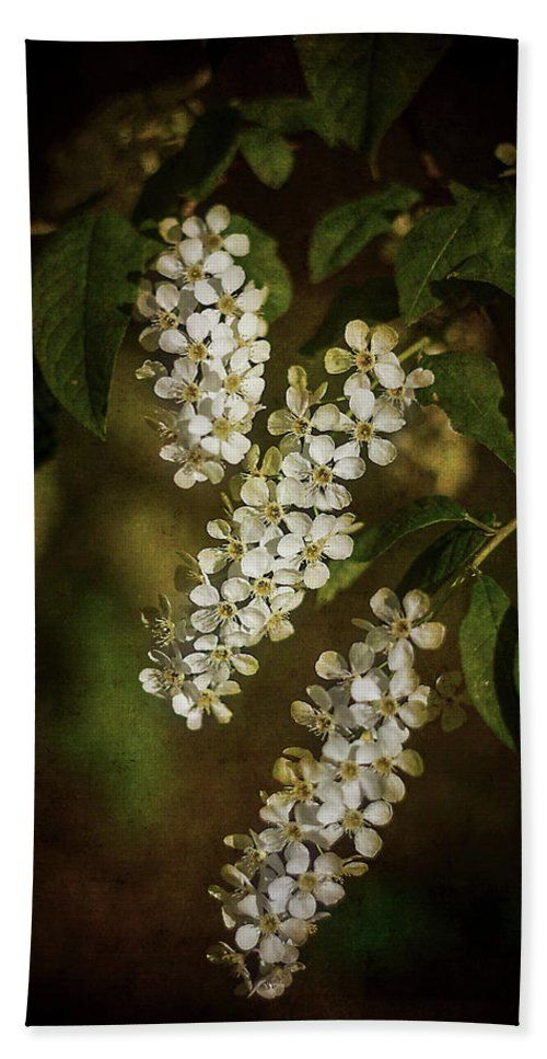 beautiful flowers, white flowers, bird cherry, spring, spring time, summer, freshness, white, green, sepia, nature, botanical, floral, blossoms, blooming, bloom, bath, bathoom, shower,  home, decor, comfort, interior, gift, curtain, towel, sell, buy, shop, fineartamerica, pixels, beach, rest, travel, vacation, summer