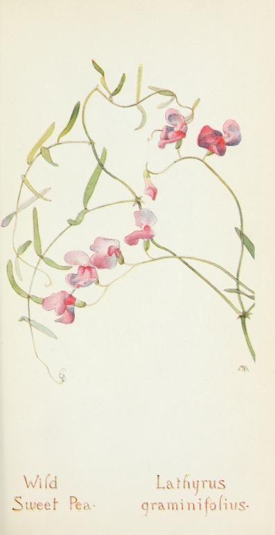 Field book of western wild flowers (1918) | Sweet Pea
