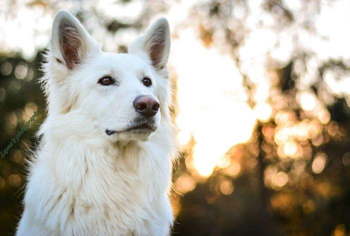 What a beauty! #white #swiss #shepherd @yummypets