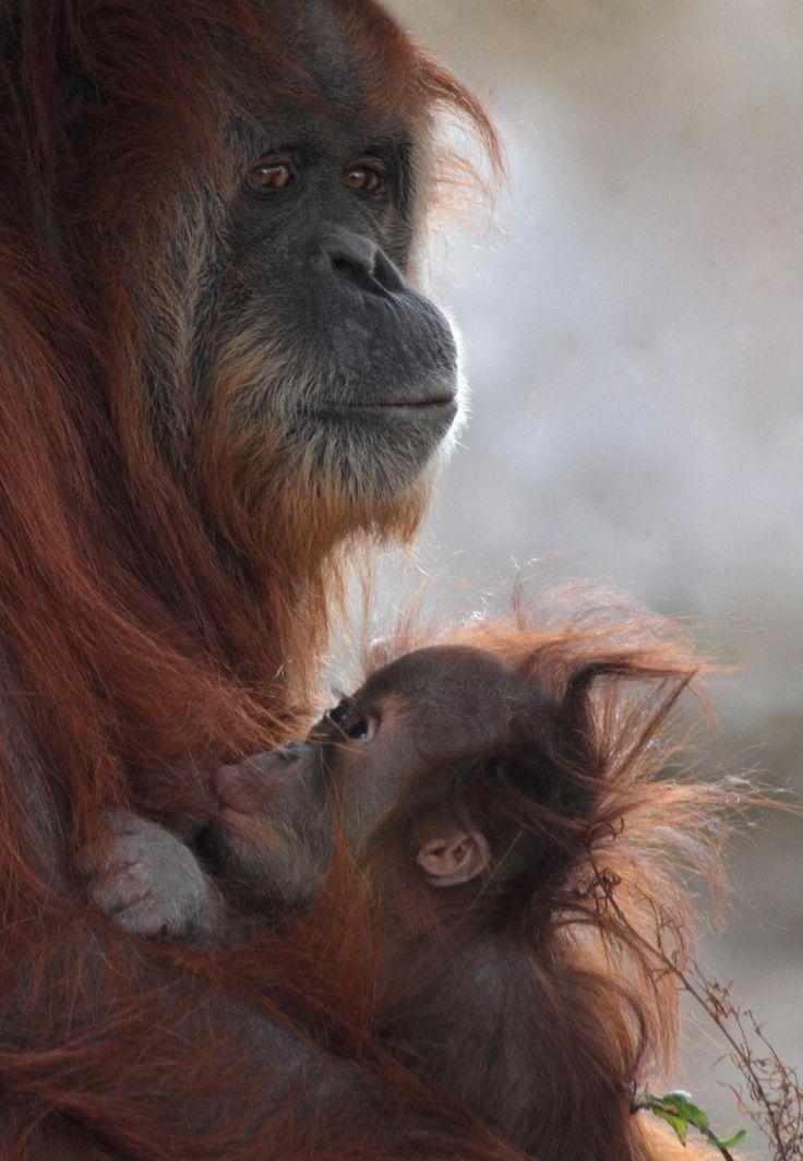 Image result for baby orangutan nursing