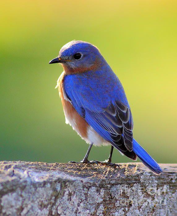 Lenore's Bluebird