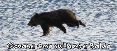 25-06-2014 Filmato un orso sul Baldo Altri 2 avvistati a Novezzina