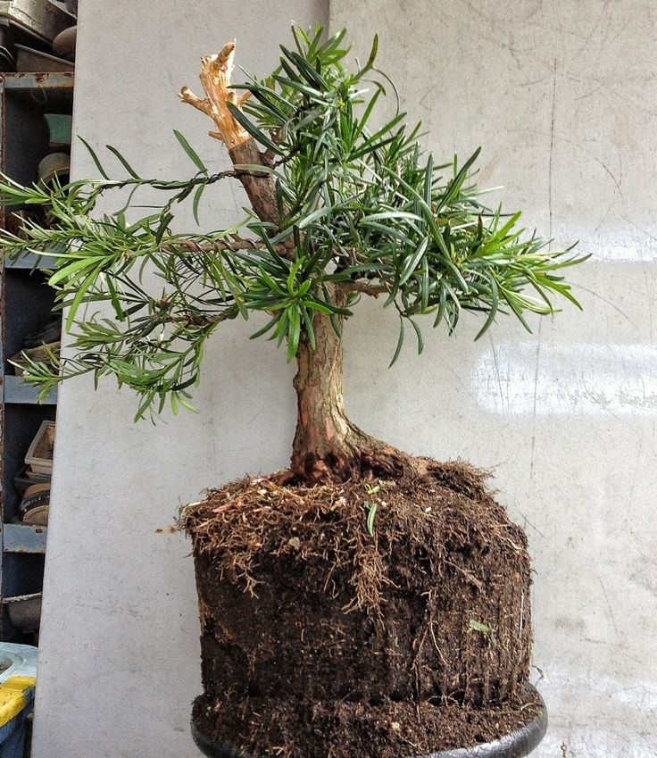 "Podocarpus Bonsai. Who knew you could hew yew? this tells me that you can make a yew into anything you want, large or small. This website has about 20 steps. Use Google images to pull up ""podocarpus bonsai"""