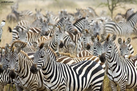 Serengeti Migration 7 natural wonders of Africa