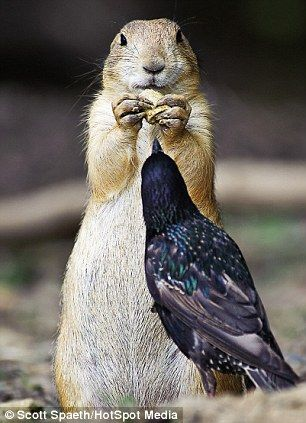 Feeling peckish: Although the prairie dog seems on top the starling managed to peck the nut out of its paws