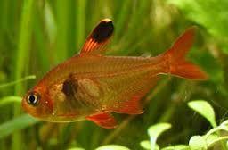 Výsledek obrázku pro akvarijní ryby tetra