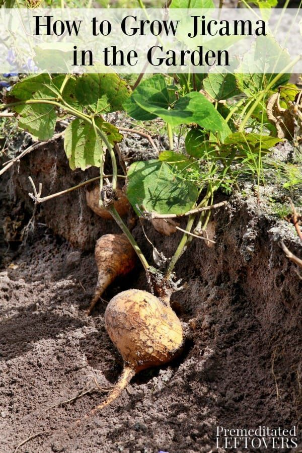 Do You Want To Grow Jicama In Your Garden This Guide On How Tells Everything Need Get Started Tips