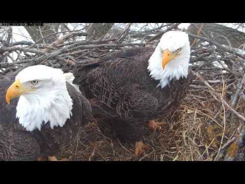 LIVE streaming video of a nesting pair of Bald Eagles located in central Minnesota, USA. Positioned 75 feet in the air, this camera is 100% powered by solar energy. It is equipped with audio and pan tilt zoom features.