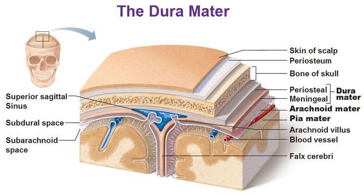 dura mater superior sagittal sinus subdural space subarachnoid space falx cerebri periosteal meningeal arachnoid villus