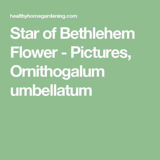 the  best star of bethlehem flower pictures ideas on, Natural flower
