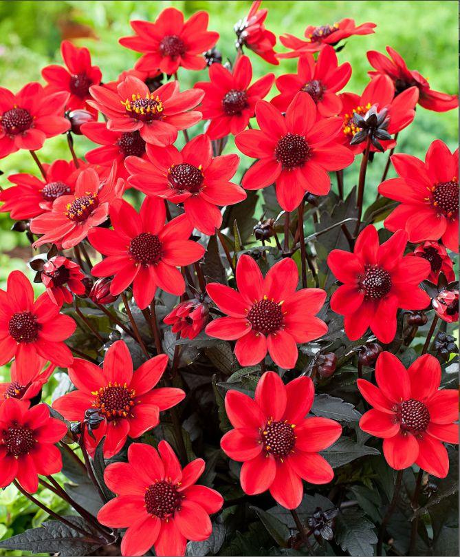 #dalie #darkangels #pulpfiction #summer #estate #flowers #fiori #red #rosso