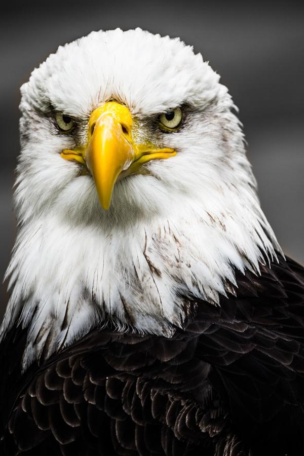 https://i.pinimg.com/736x/af/ca/04/afca044e7d6229891a75f87305fbab8a--eagle-animals-wild-animals.jpg