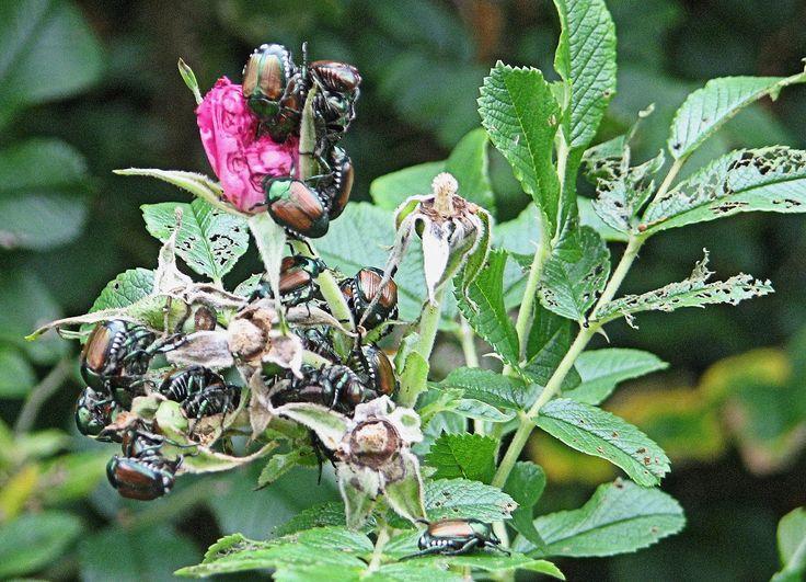 Besouros japoneses alimentando-se.  Fotografia: