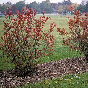 Blueberry Bushes red foliage