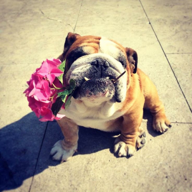 """Have a gift for you!"" #Bulldog"