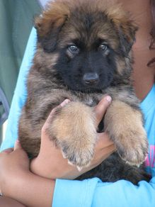 Remington at 6 weeks. Long Coat German Shepherd Puppy For Sale - Rehoboth's Long Coat German Shepherd Dogs