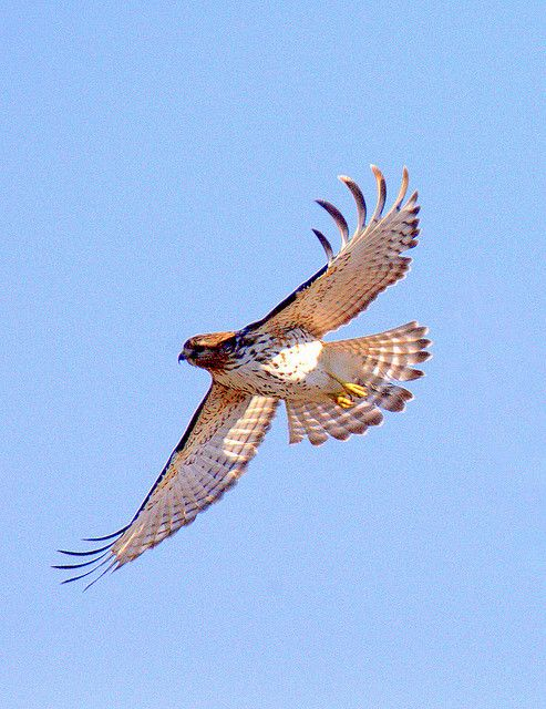 17 Best Ideas About Red Tail Hawk Feathers On Pinterest border=