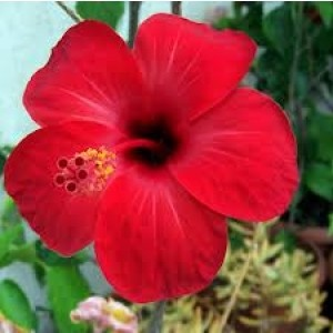 Hibiscus trandafir japonez 11cs