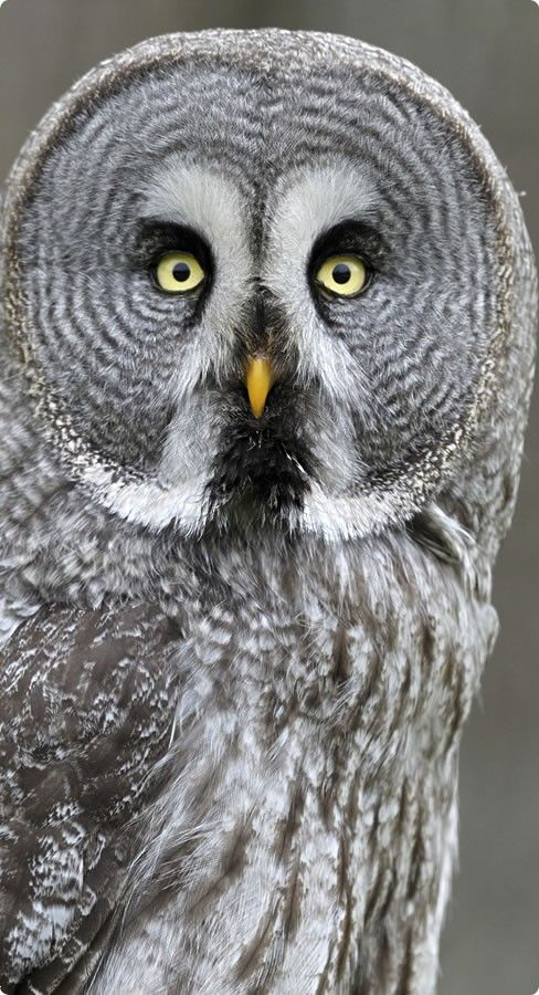 Great Grey Owl: Owl Baby, Animal Baby, Birds Of Paradis, Baby Animal, Great Grey Owl,  Great Gray Owl, Eye, Feathers Friends, Grey Owl Photos