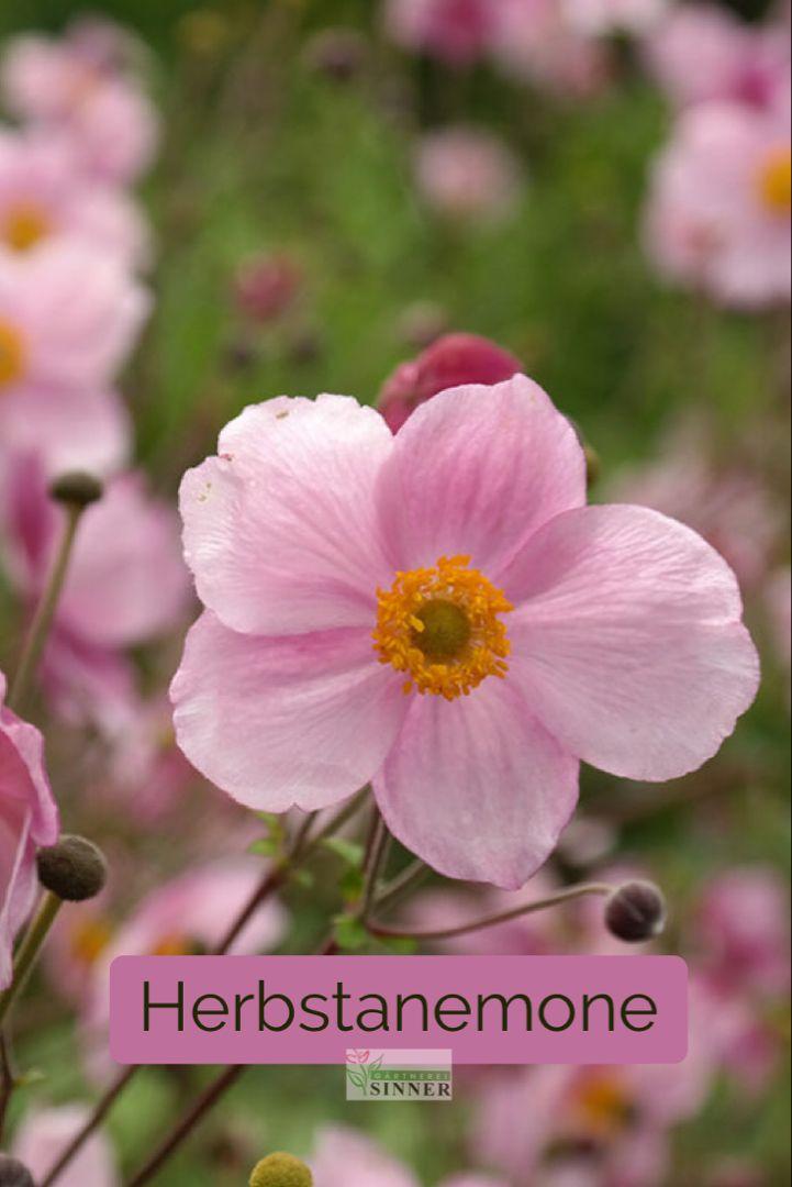 Herbstanemone Pflanze Des Monats Pflanzen Herbstanemone Winterharte Stauden