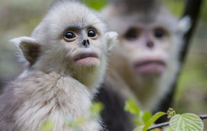 """""""How a monkey helped launch China's conservation movement"""" -- Click through for a story, more photos, and a video from """"CBS News Sunday Morning"""" about these adorable rare snub-nosed monkeys and how they're changing China's environmental consciousness."""