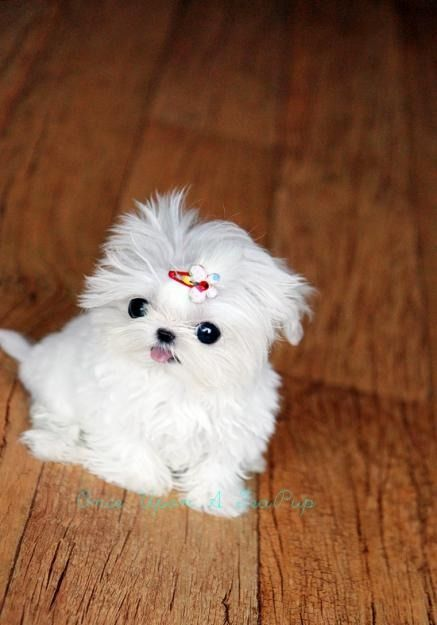 32 Teacup Maltese Tumblr Uuuhhh This Might Be A