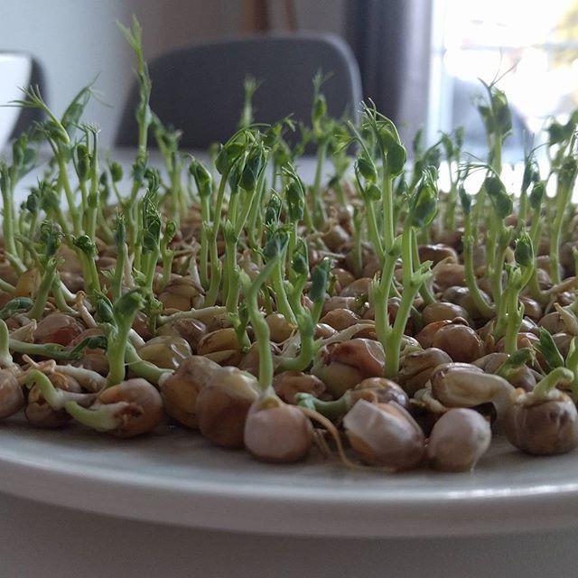 Mat fra bunnen! 😁 Ser du hva dette er? Testet dyrking av spirer uten jord, ble ikke så verst! #matfrabunnen