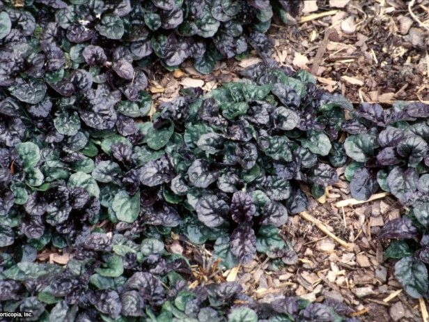 58 best groundcover images on pinterest garden plants landscaping ajuga also known as bugle weed ajuga is a matting groundcover that grows only mightylinksfo Image collections